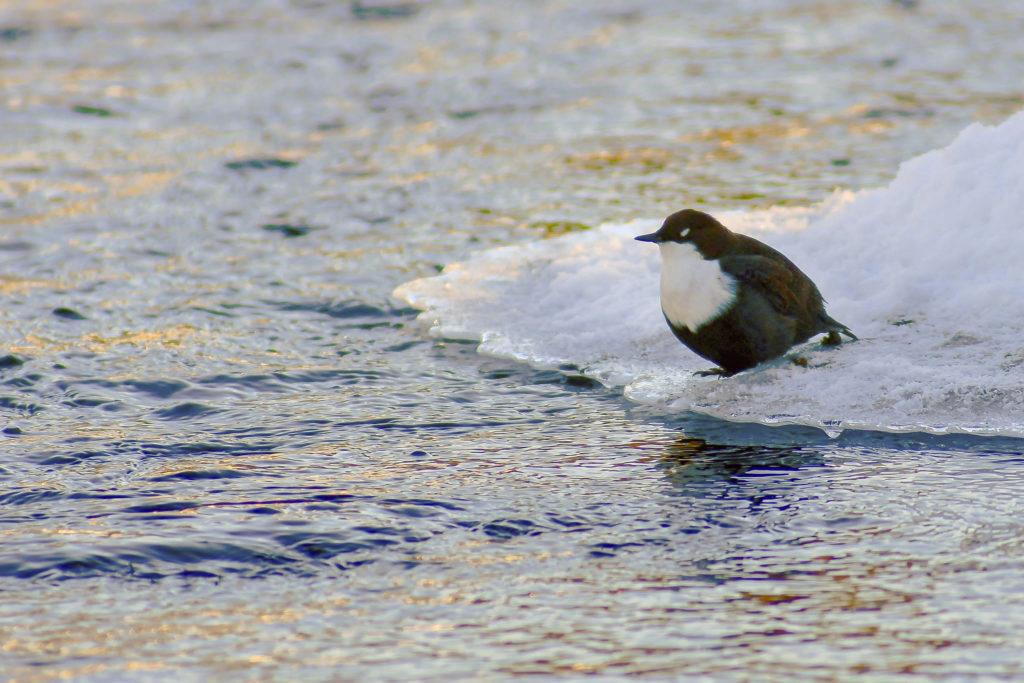 Musta, valkorintainen ja pullean mallinen koskikara värjöttelee lumitöyräällä kosken partaalla. Viisto auringonvalo on värjännyt kullankeltaisia juovia virtaavaan veteen.
