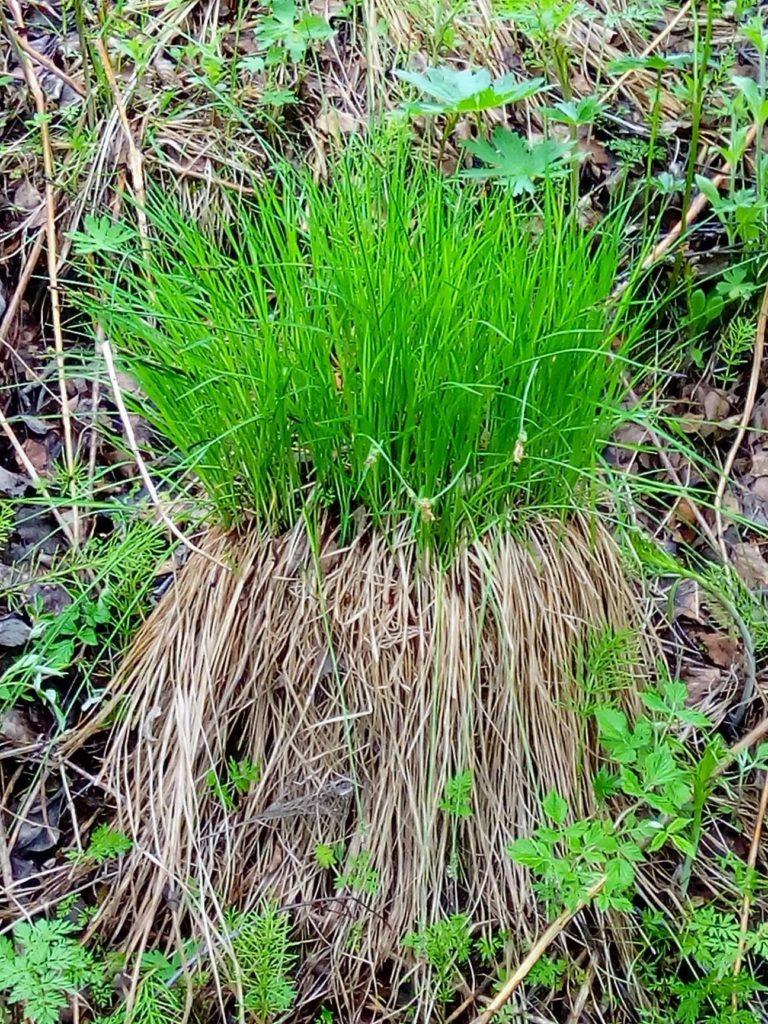 Peikonpäät kiehtovat kuvaajia. Peikonpää eli tupassara tai ryssänpää on komea mätäs jossa tuore vihreä kasvusto nousee mättään keskeltä peittäen alaspäin roikkuvat kuivuneet heinät.