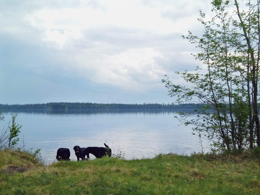 Koirien ansaittu uimatauko rannalla. Kolme labbista matalassa rantavedessä. Järvi on tyyni ja pastellisävyiset pilvet heijastuvat tyyneen veden pintaan. Tummia pilviä kertyy taivaan rantaan.