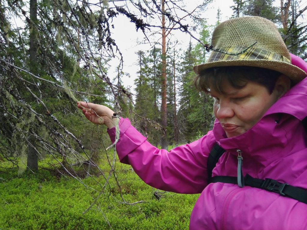 Heidi tunnustelemassa vanhan jäkälöityneen puun oksilta naavaa -vaiko luppoa? Senhän tietää varmasti vasta kokeilemalla.