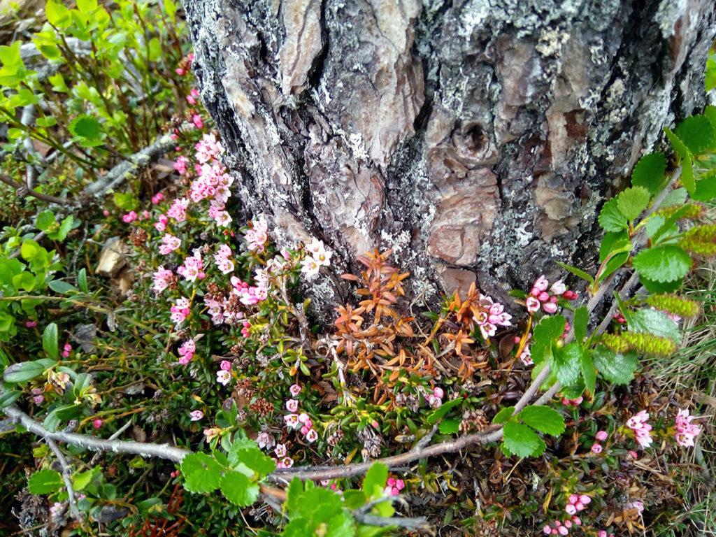 Männyn juurella kauniisti kukkiva variksenmarja ja puuta kiertävä vaivaiskoivu.