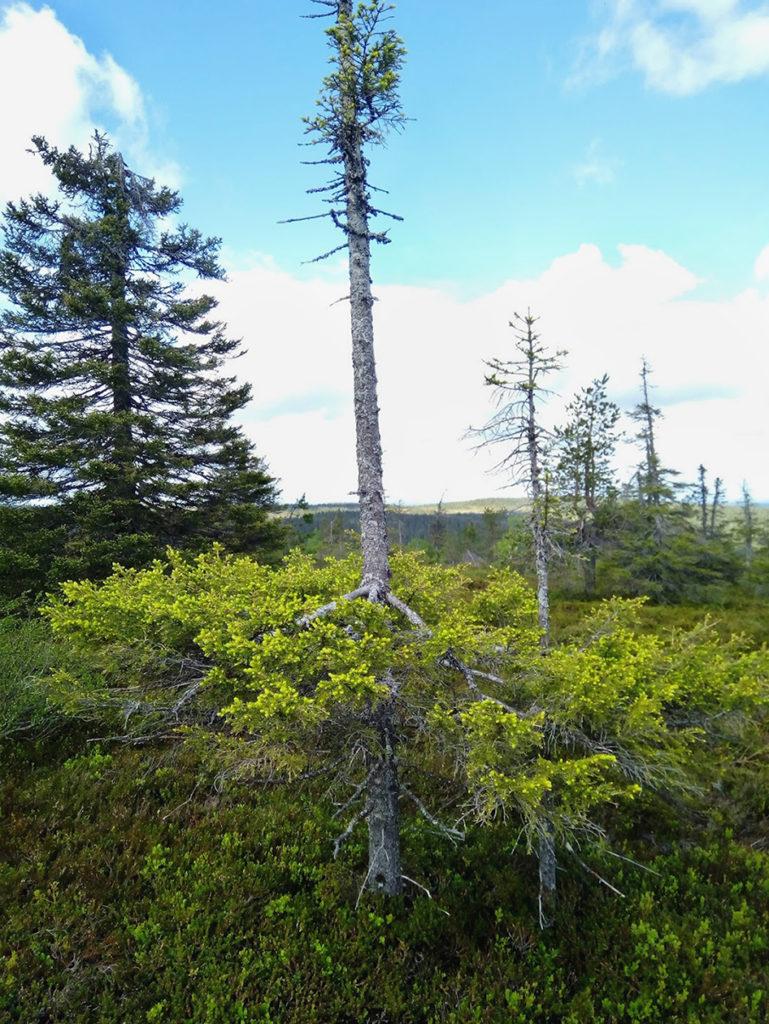 Tikkusuora ja hyvin ohut mänty jonka yläosassa kasvaa muutama kitukasvuinen oksa mutta sen alaosa on tuuhea, kuin leveä mekko. Uutta heleän vihreää kerkkää versoo runsaana vanhojen oksien lomasta.