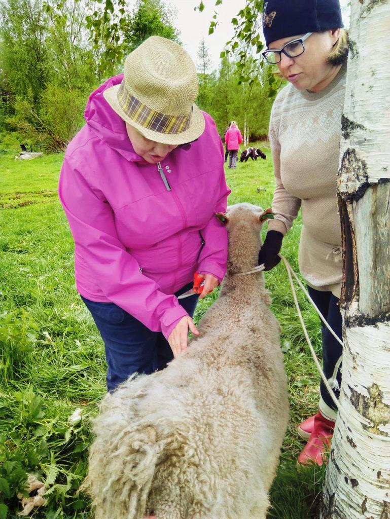 Heidi tunnustelemassa Siiri-lampaan pehmeää alusvillaa kyljen kohdalta. Kaulasta ja päästä villa on jo leikattu. Heidillä on sakset valmiina villan leikkaamiseen. Siiri on Annen varmassa otteessa rauhallinen ja tähyää kauempana telmiviä opaskoiria.