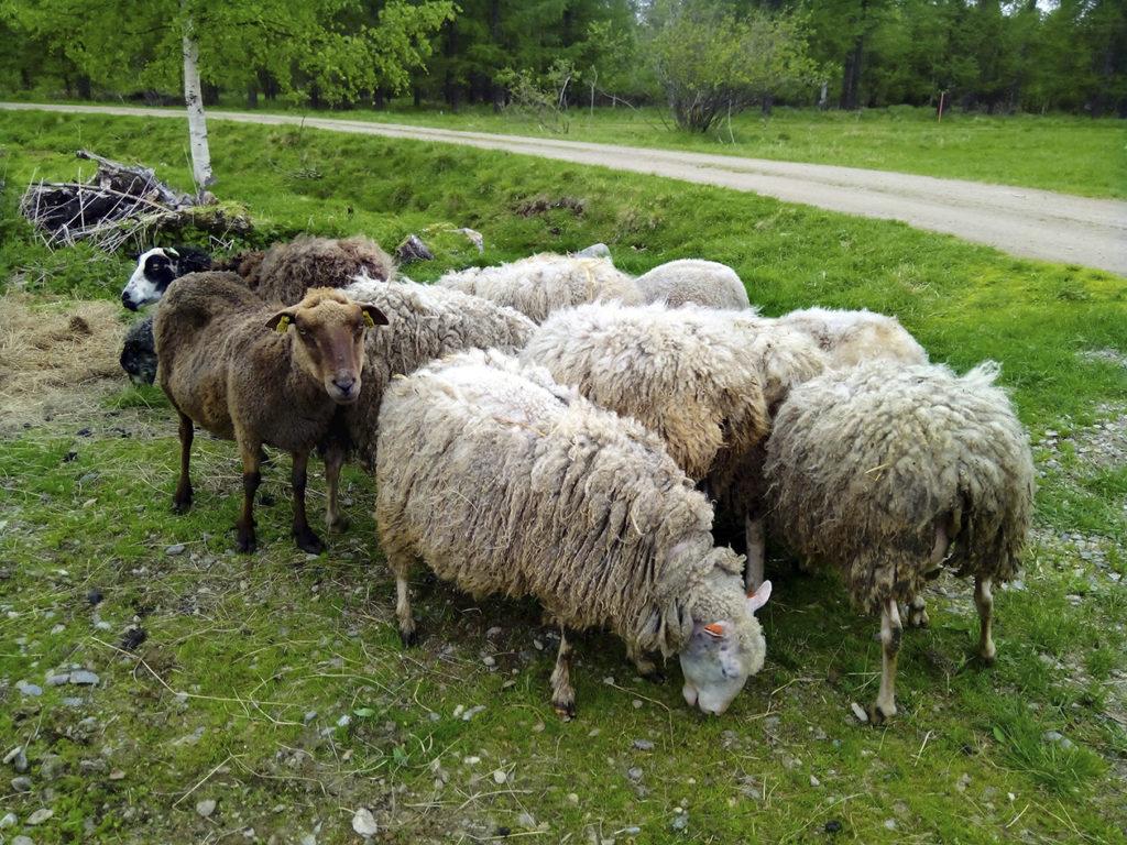 Komea lammaslauma tiiviinä muodostelmana hamuamassa vihreää tuoretta ruohoa. Joukossa valkoisia lampaita, pari ruskeaa sekä yksi mustavalkoinen.