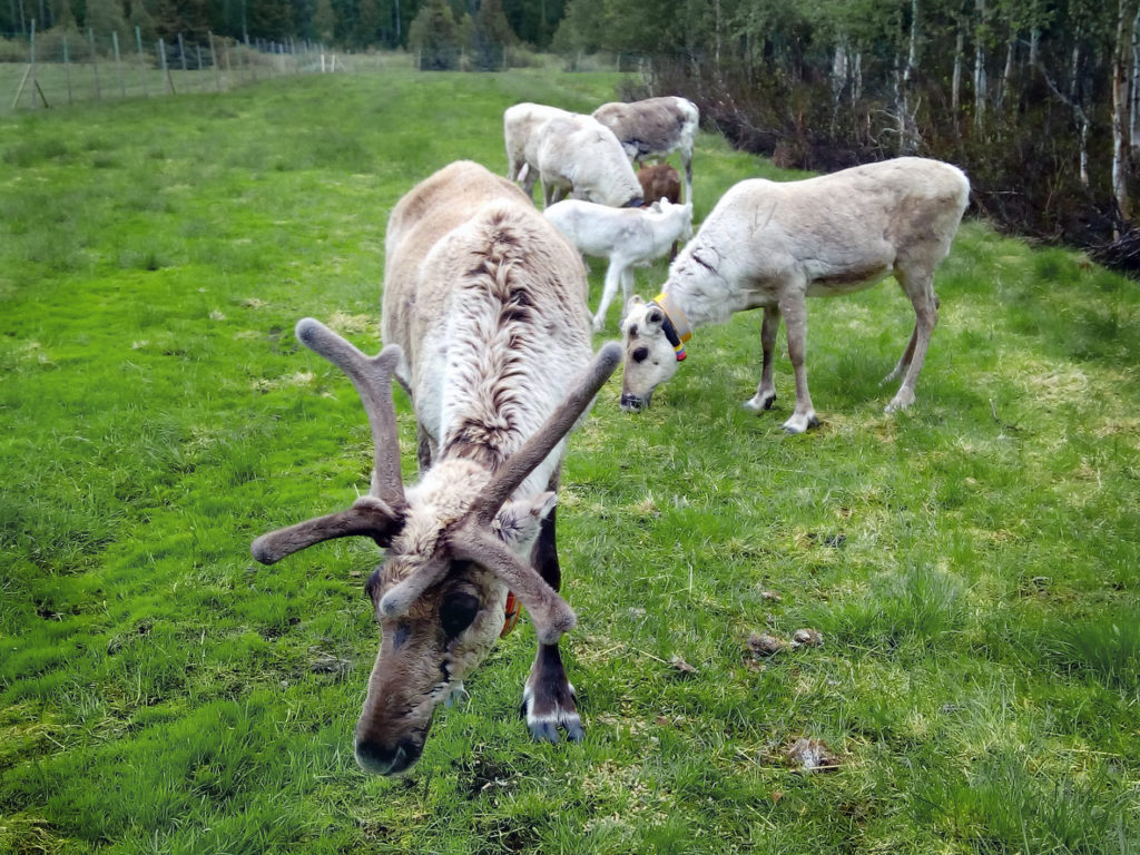 Neljä aikuista poroa ja kaksi vasaa syömässä ruohoa vehreällä niityllä. Etummaisella porolla on hurjan komeat sarvet.