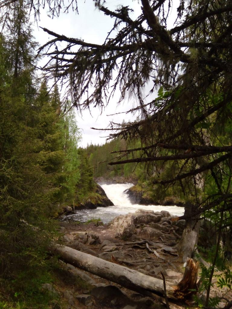 Rannan puiden takaa paljastuu ylempänä jokivarressa oleva, komeasti kuohuva Jyrävän putous. Rantatöyräs on paksujen juurten peittämä ja etualalla on kaatunut puun runko.
