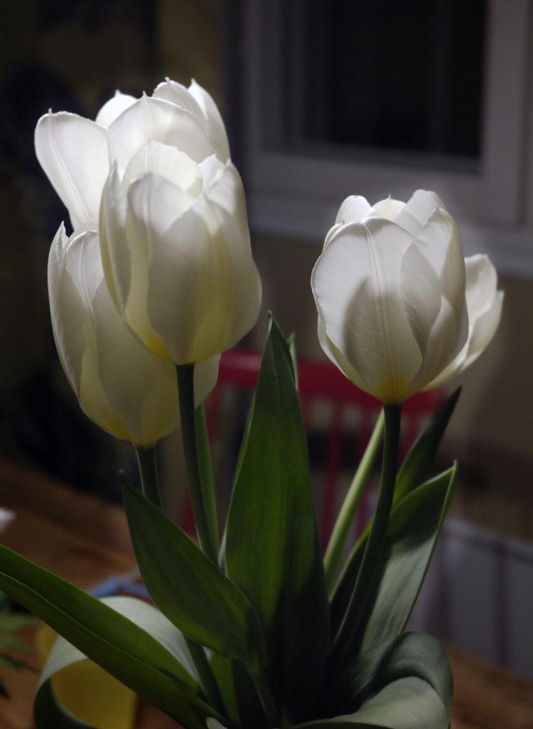 Neljä valkoista tulppaania maljakossa. Valo osuu kukintoihin saaden ne hehkumaan. Hämärässä taustassa ikkunan alaosa, puista pöytää ja punaista tuolia.